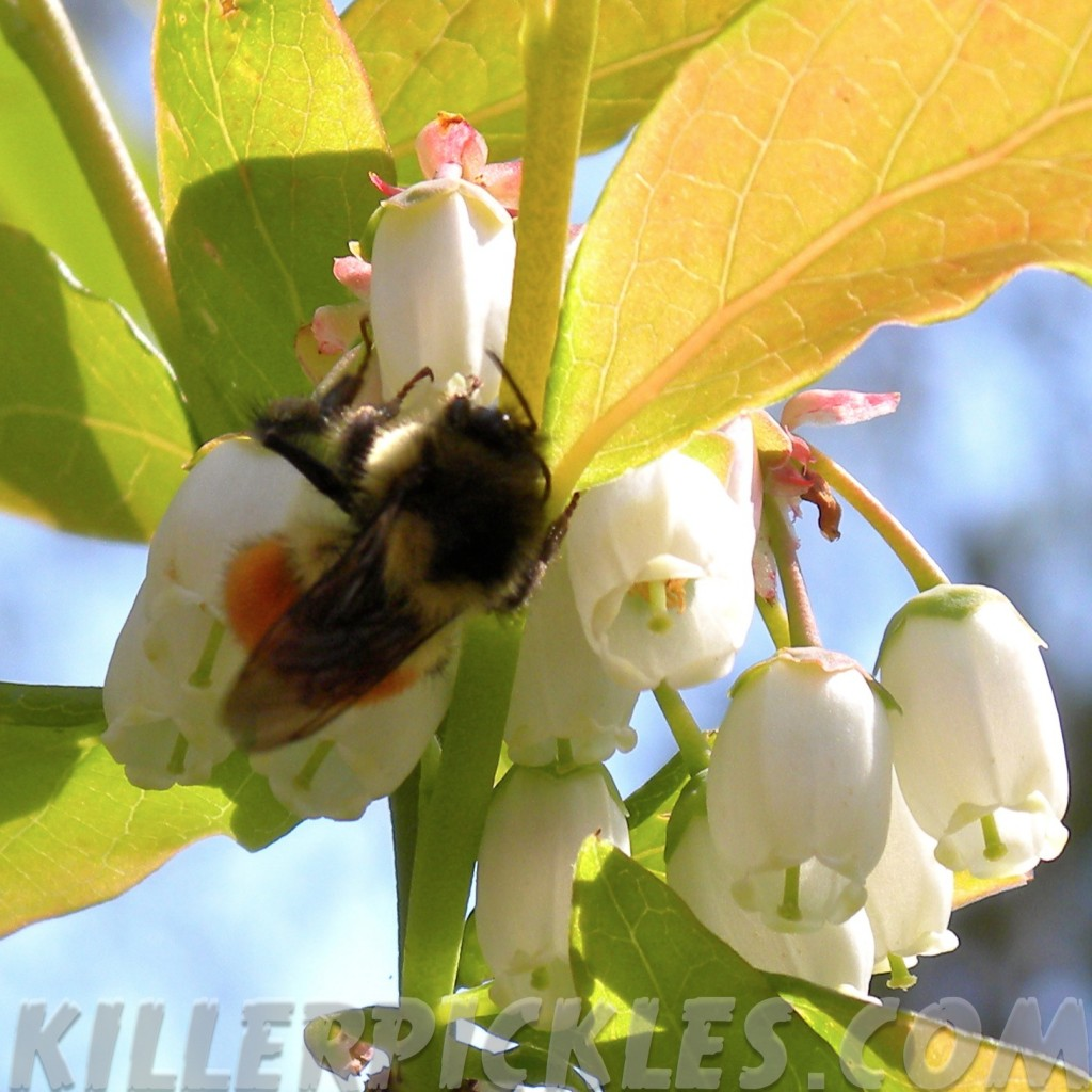 Bumblebee pollinating blueberry.