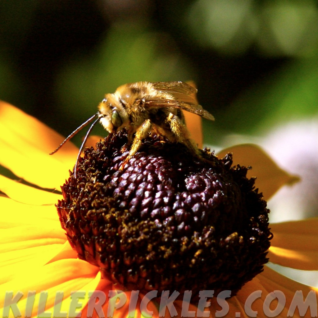Long-horned bee on Rudbekia.