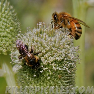 Unidentified native bee (L) and European honeybee (R).