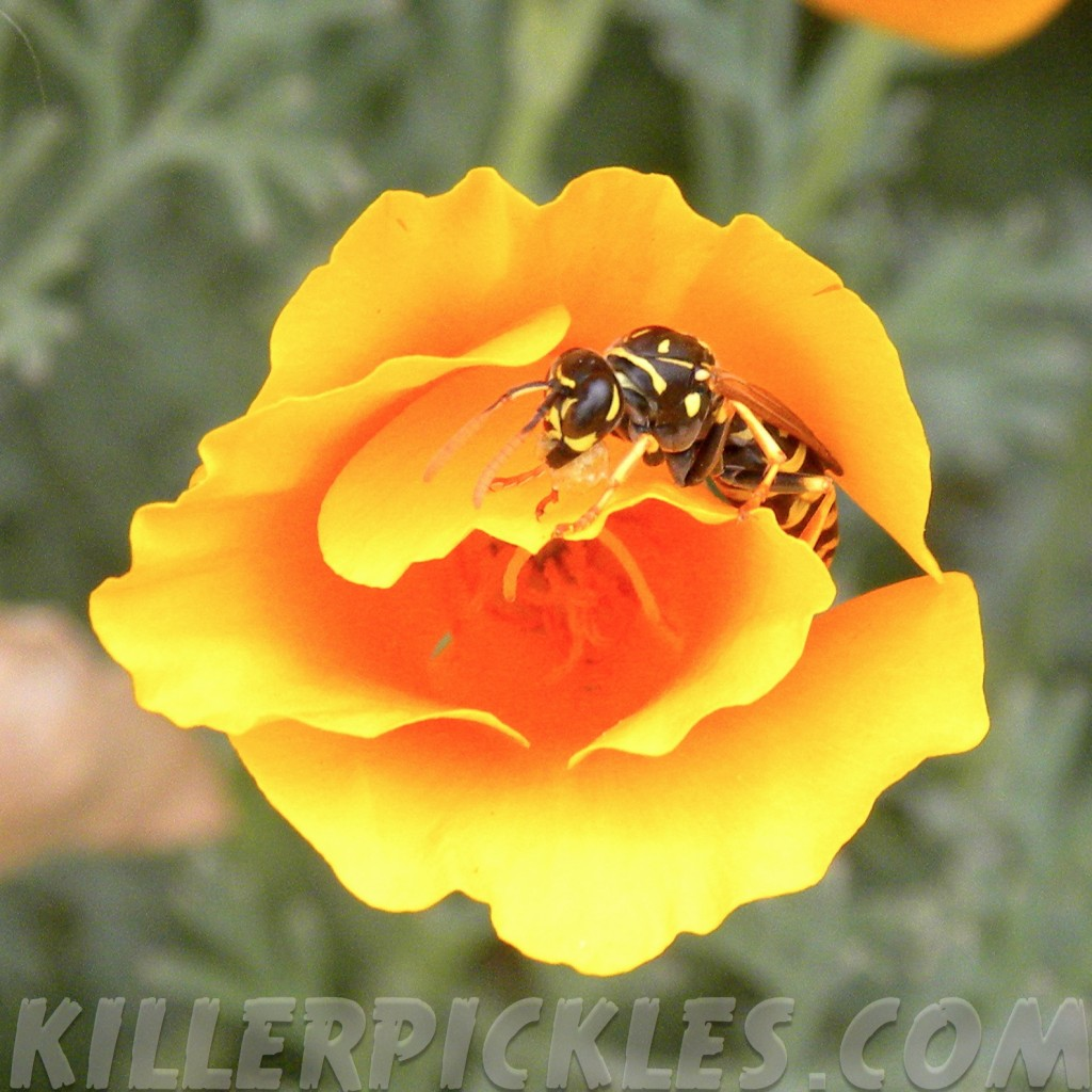 Paper wasp on California poppy.
