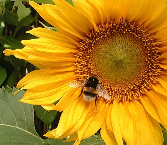 Bumblebee on sunflower by Ben.