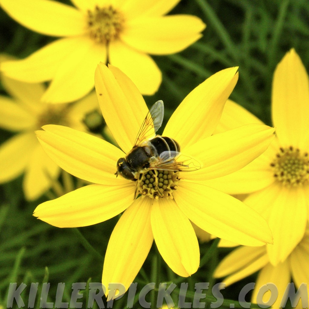 Flower fly on Coreopsis.