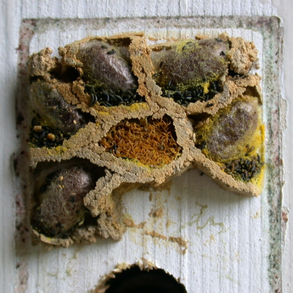 Mason bee nest with mud partitions, by sighmanb.