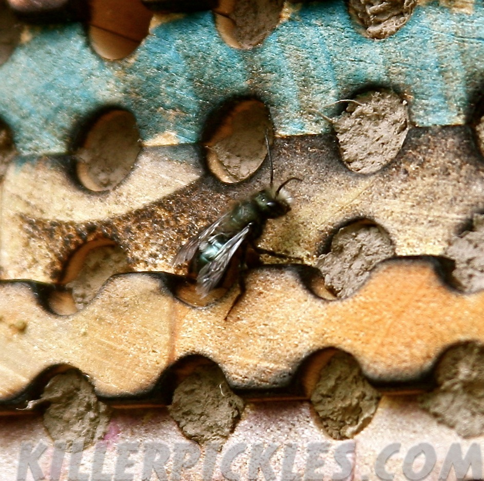Mason bee searching for vacant nesting cavity.