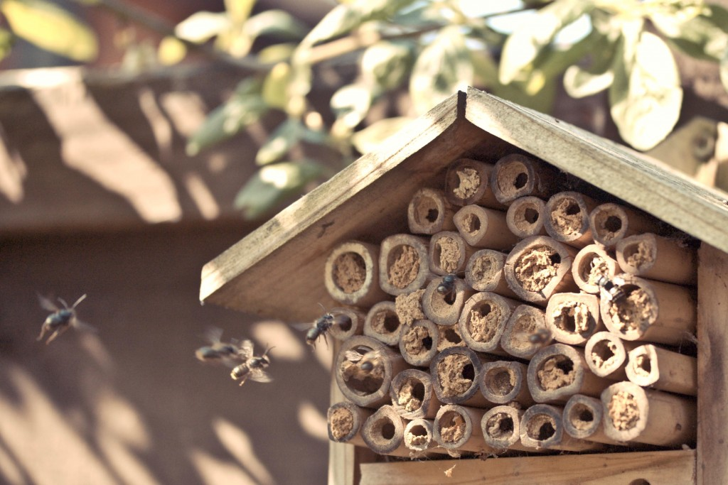 Mason bees nesting in natural reeds, by poppet with a camera.