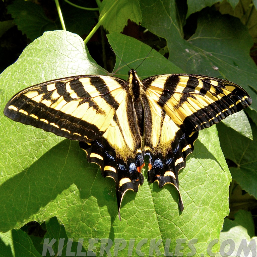 Western Tiger Swallowtail.